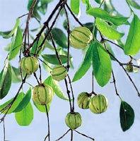 Garcinia cambogia dosage: how much garcinia cambogia should i take